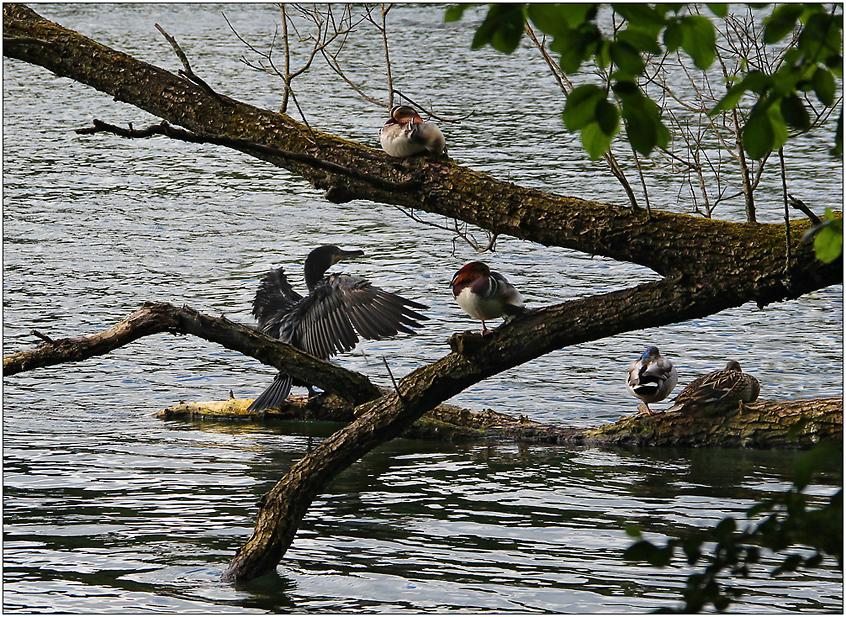 Bei den Enten und Kormoranen am See ...