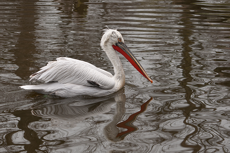 bei den Pelikanen
