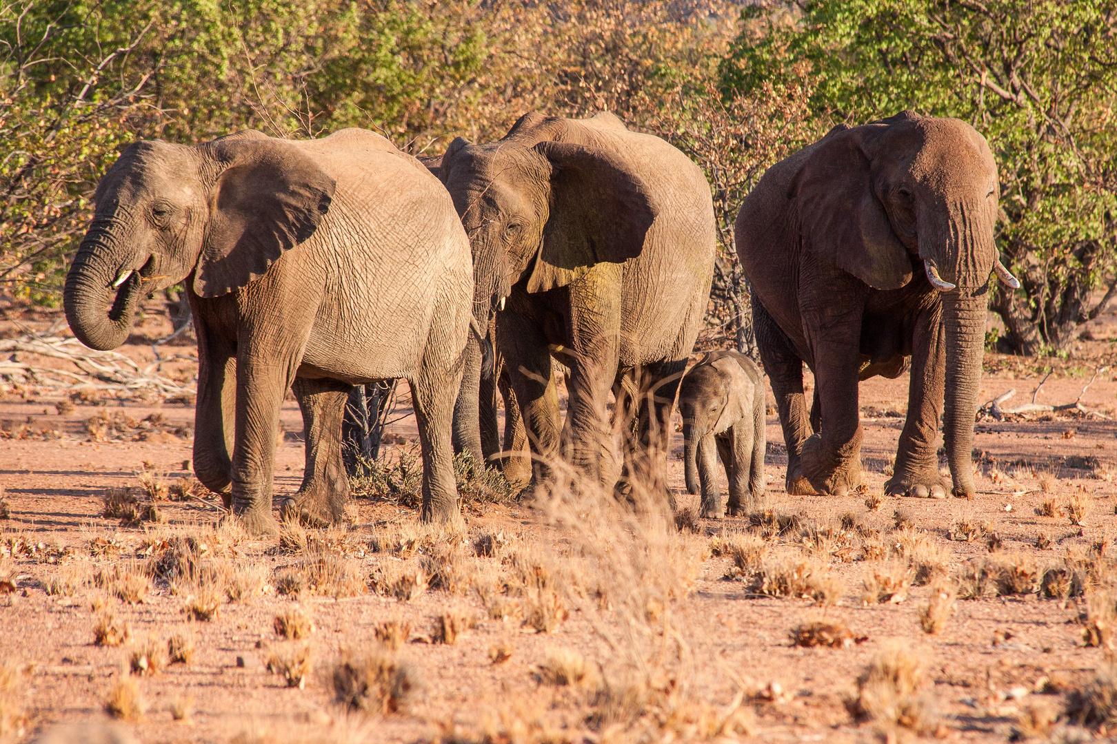 Bei den Wüstenelefanten gibt's Nachwuchs