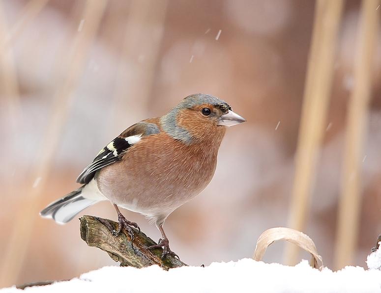 Bei leichtem Schneefall, Buchfink (Fringilla coelebs)