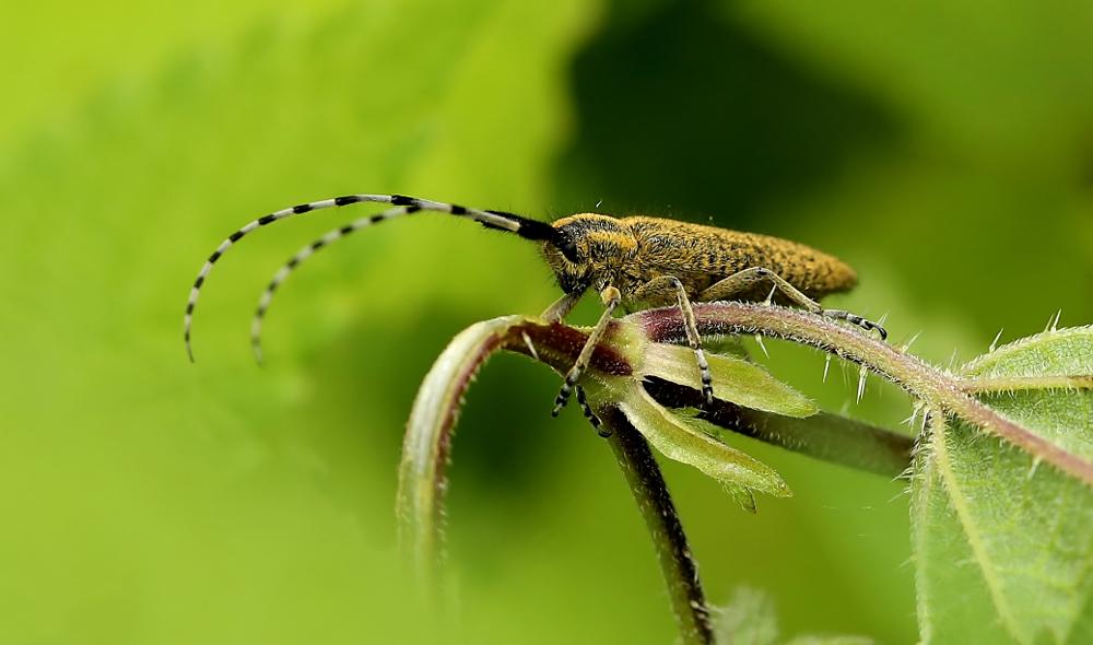 Bei manchen Käfern ...