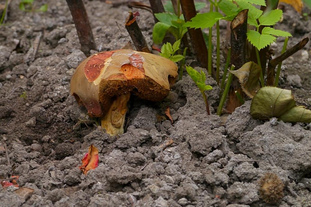 Bei mir wachsen die Röhrlinge schon im Garten