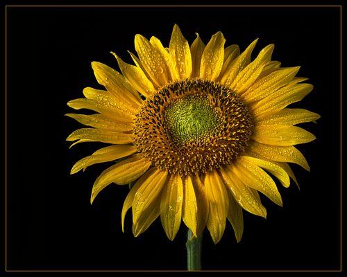 Bei schlechtem Wetter weinen auch die wundervollen Sonnenblumen
