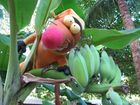 ...beim Bananenpflücken