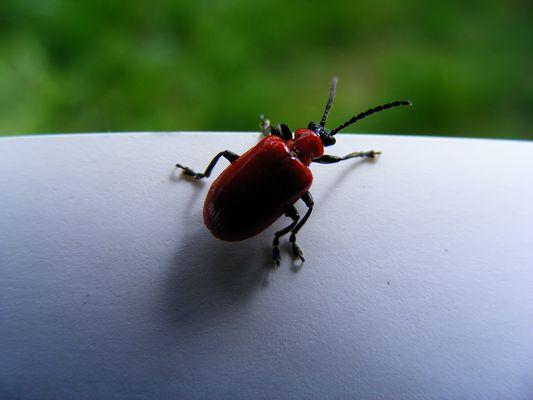 Bel insecte