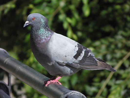 bel piccione