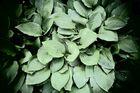 beleuchtete Blätter