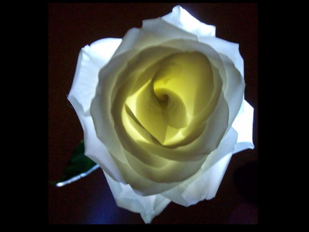 Beleuchtete Rose