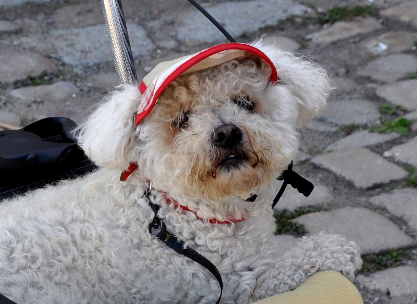 belle casquette, mignon ce chien de Bretagne