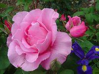 belle fleur rose