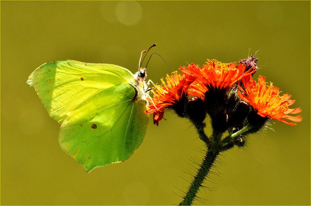 Belle papillon