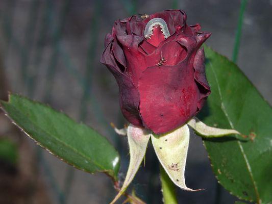 belle rose avec fourmi et chenille