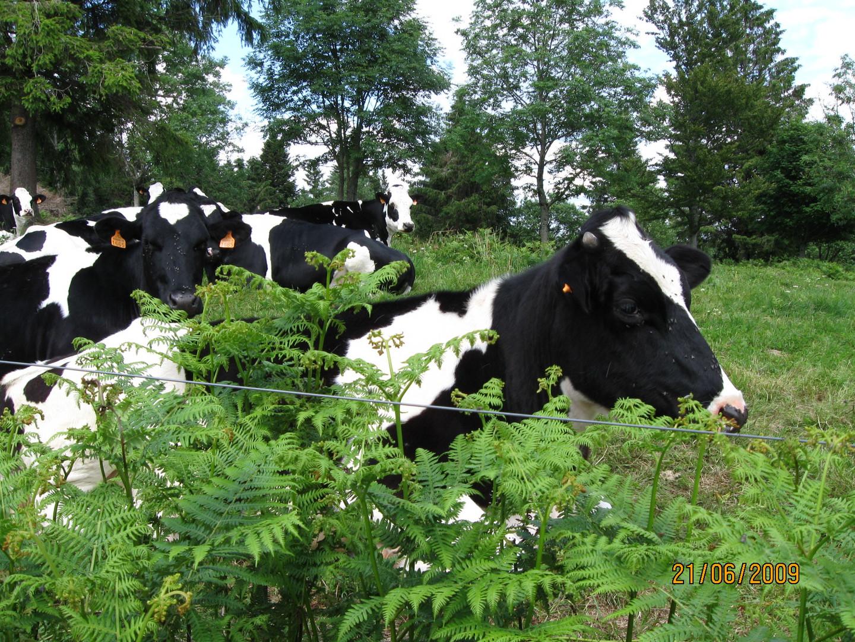 Belle vache des champs