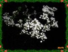 belleza flor de noche