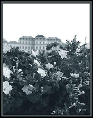 Belvederes Flowers
