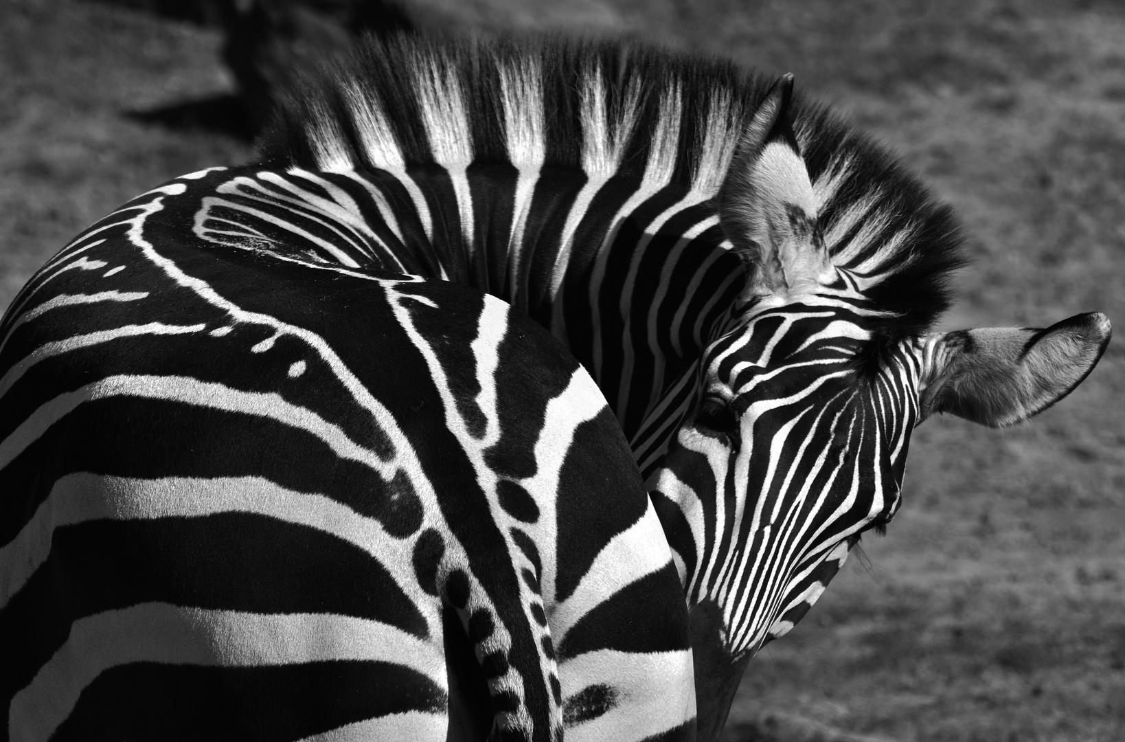 bemerkenswerte Wirbelsäulenkrümmung beim Zebra