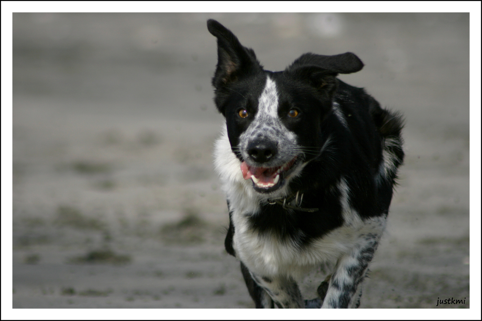 Ben, border collie on the beach 1