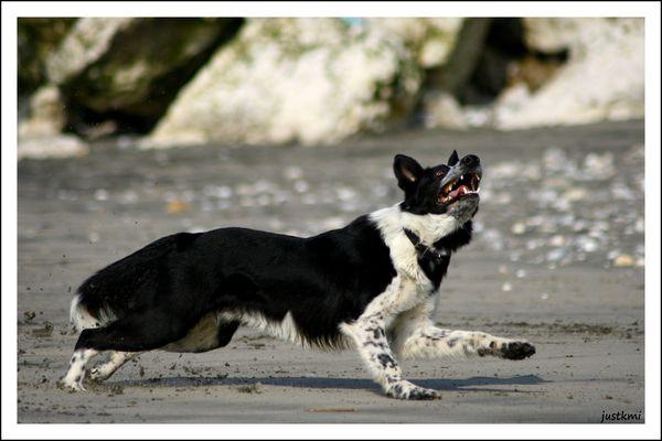 Ben, border collie on the beach