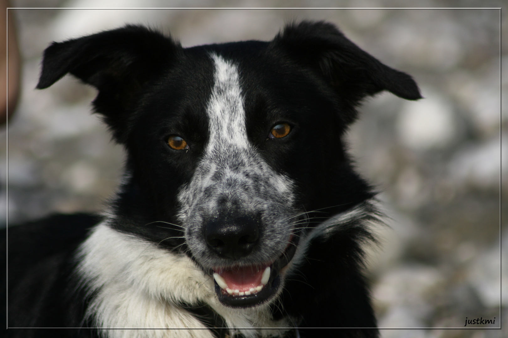 Ben, border collie, portrait