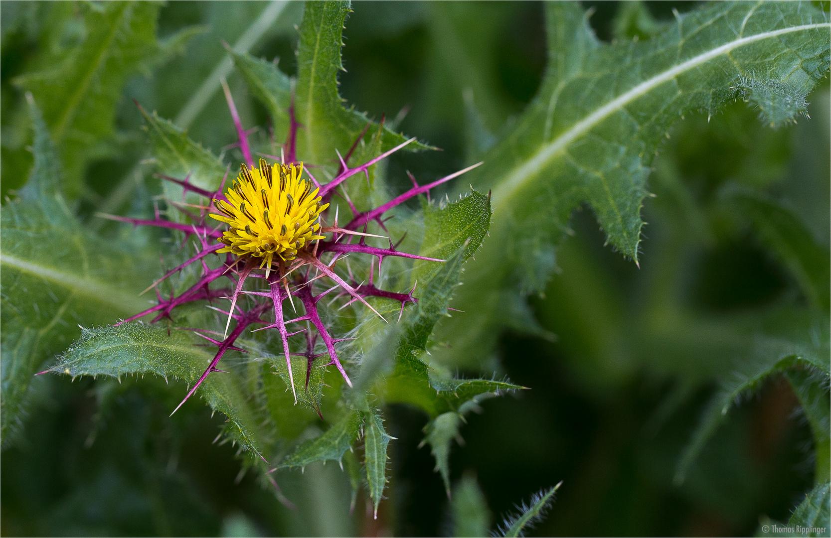 Benediktenkraut (Centaurea benedicta) oder Benediktendistel...