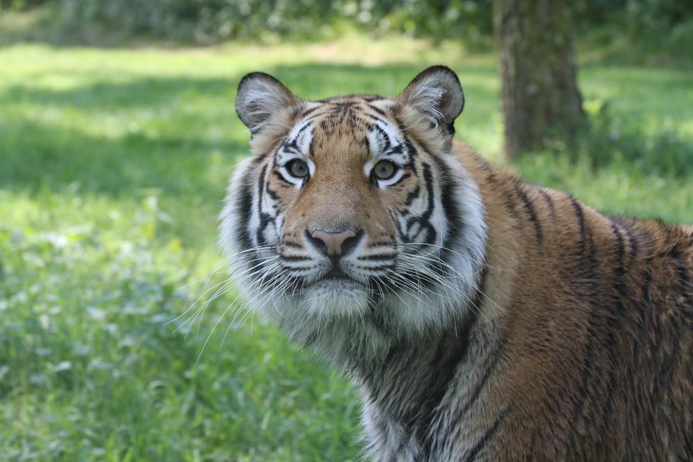 Bengal-, oder Königstiger
