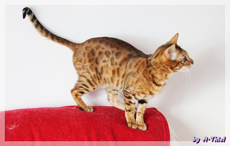 Bengalcat von Lichtgestalt70