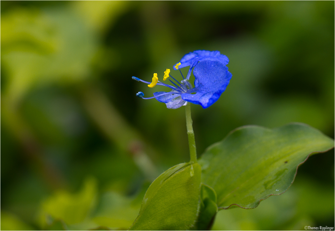 Bengalische Tagblume (Commelina benghalensis)