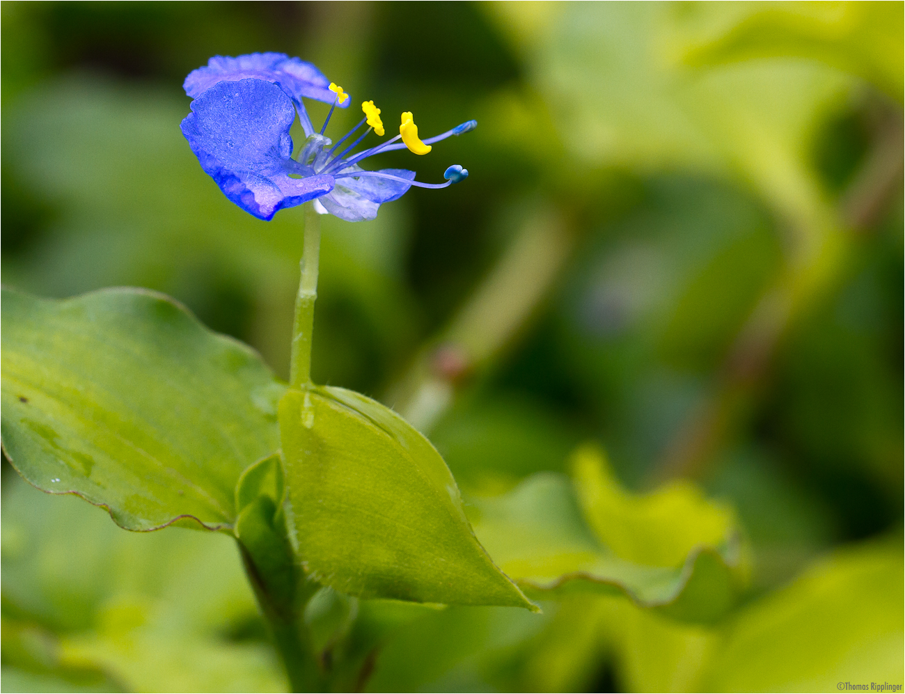 Bengalische Tagblume (Commelina benghalensis).