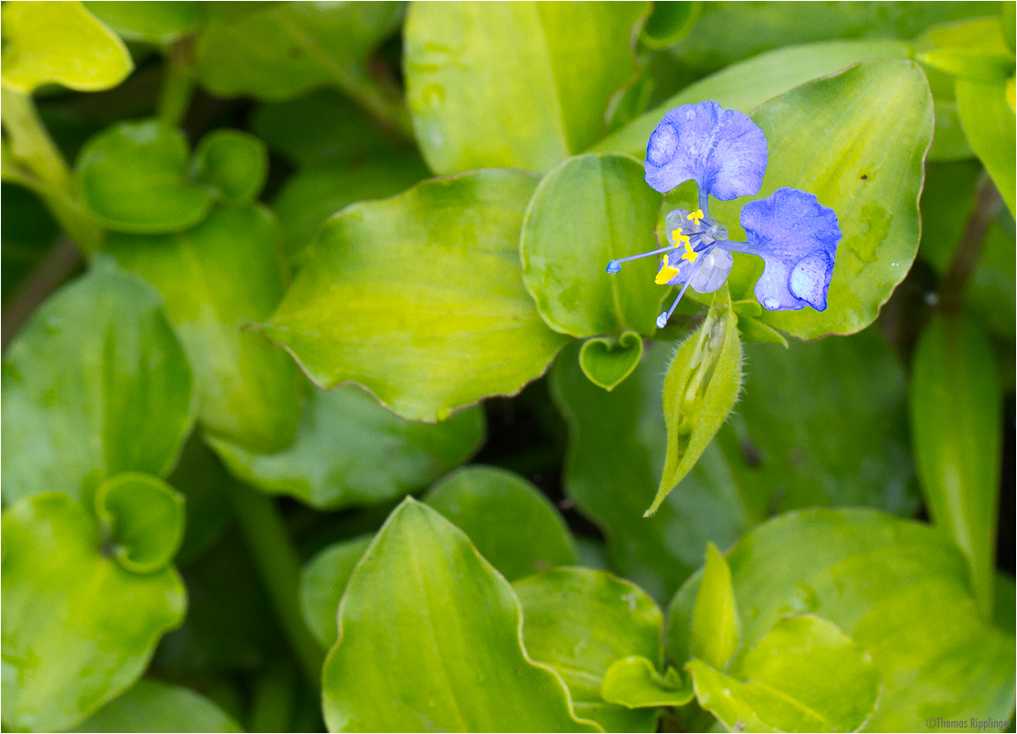 Bengalische Tagblume (Commelina benghalensis)..