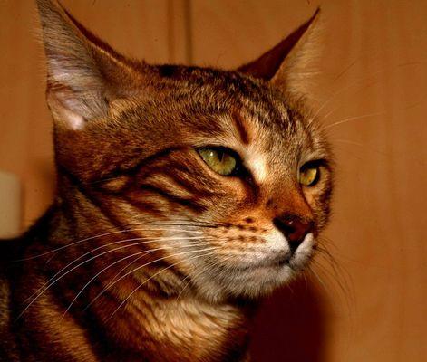 Bengalische Wildkatze 2
