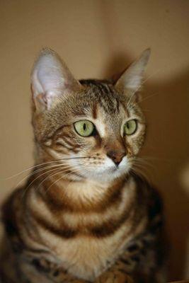 Bengalische Wildkatze