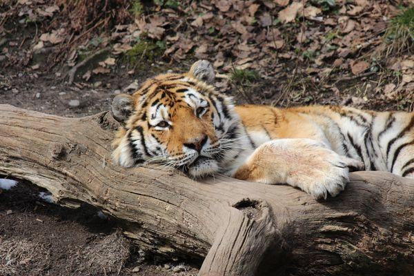 Bengalischer Tiger I