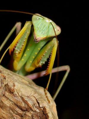benin mantis