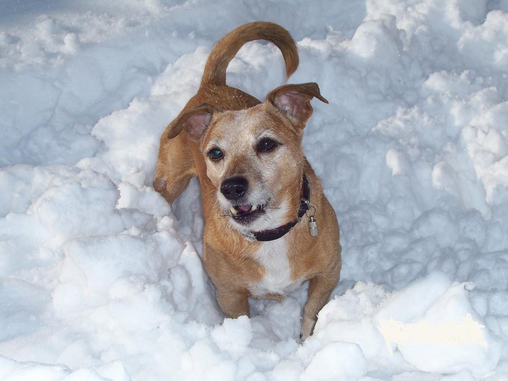 Benji im Schnee