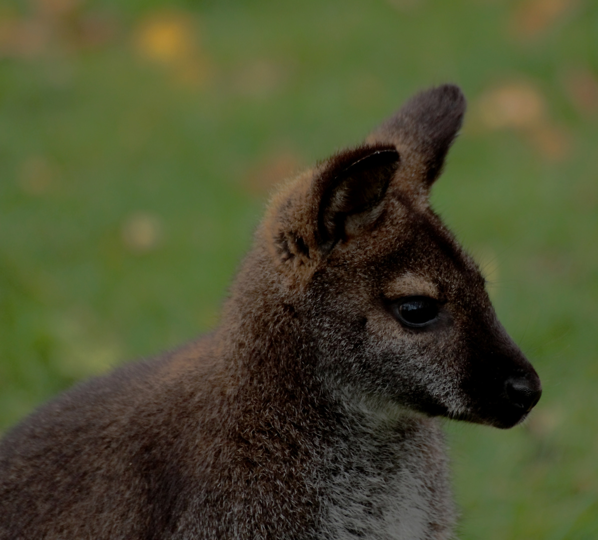 Bennet-Känguru-Portrait