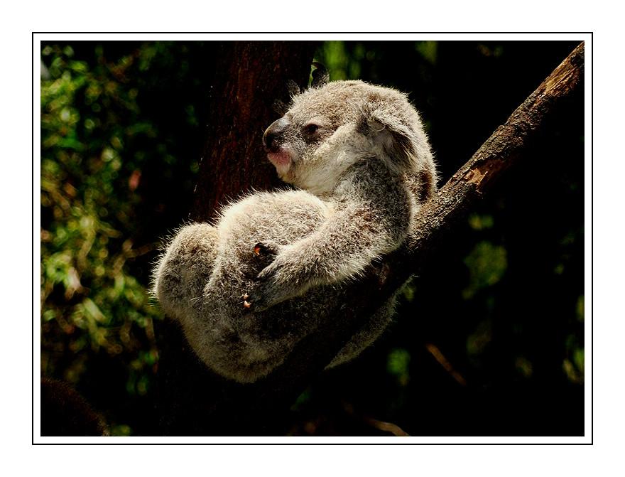 bequem , bequemer...... Koala
