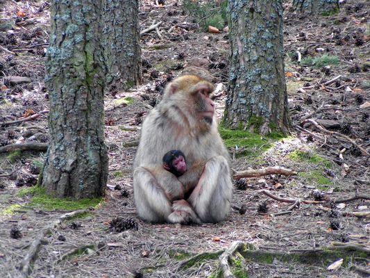 Berberaffe mit Neugeborenem