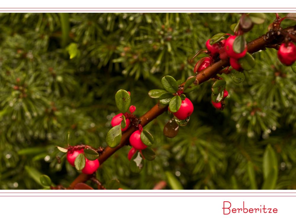 *Berberitze mit Früchten*
