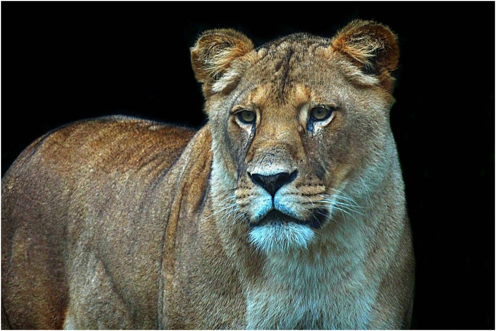 Berberlöwe (2) -Zoo Neuwied-