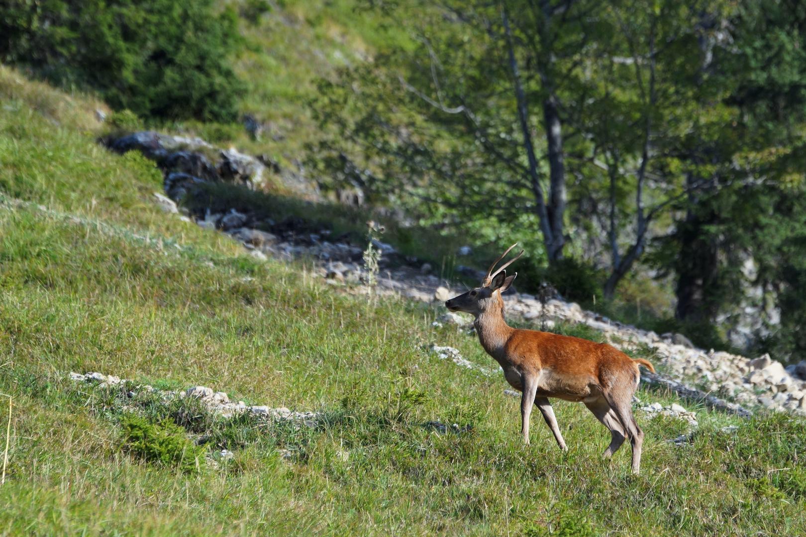 Berg Antilope