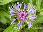 Berg- Flockenblume