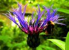 Berg Flockenblume VII mit Hummel