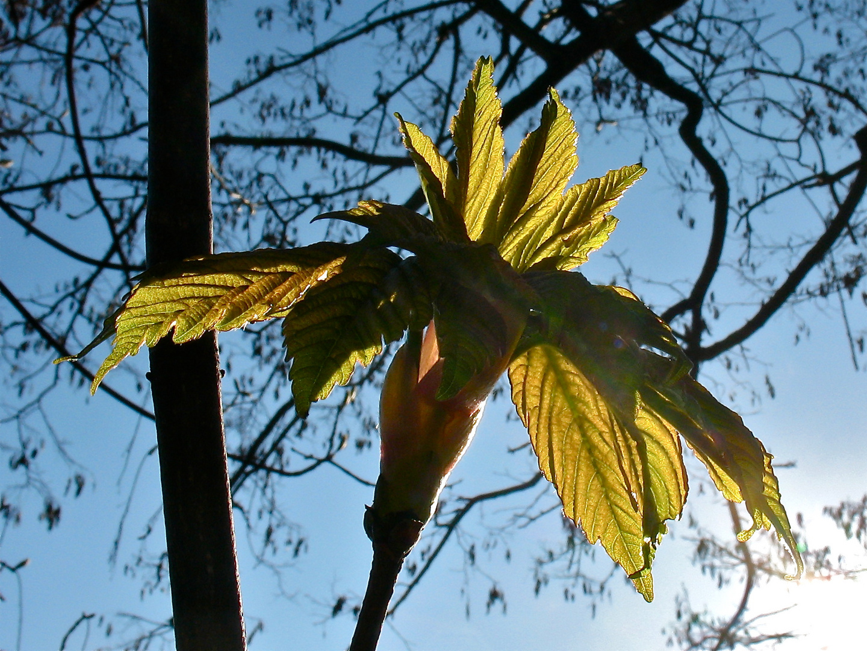 Bergahorn - Acer pseudoplatanus III