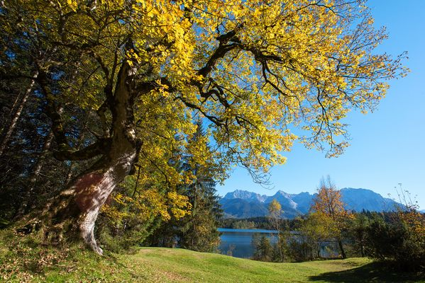 Bergahorn im goldenen Gewand