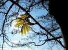 Bergahorn mit Rahmen (Acer pseudoplatanus)  IV
