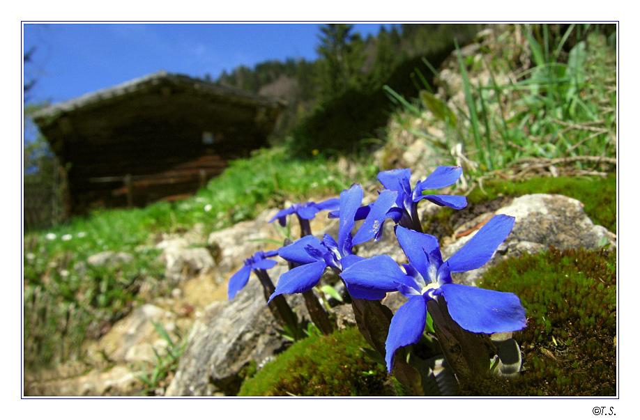 Bergblume mit Hütte