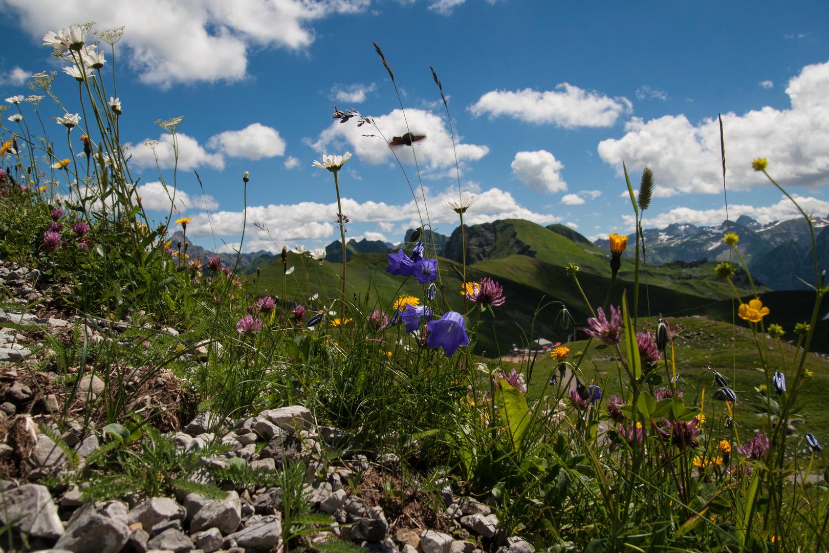 Bergblumen am Nebelhorn