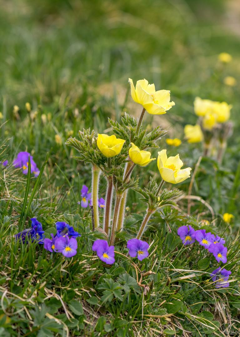 Bergblumenidylle im Frühling