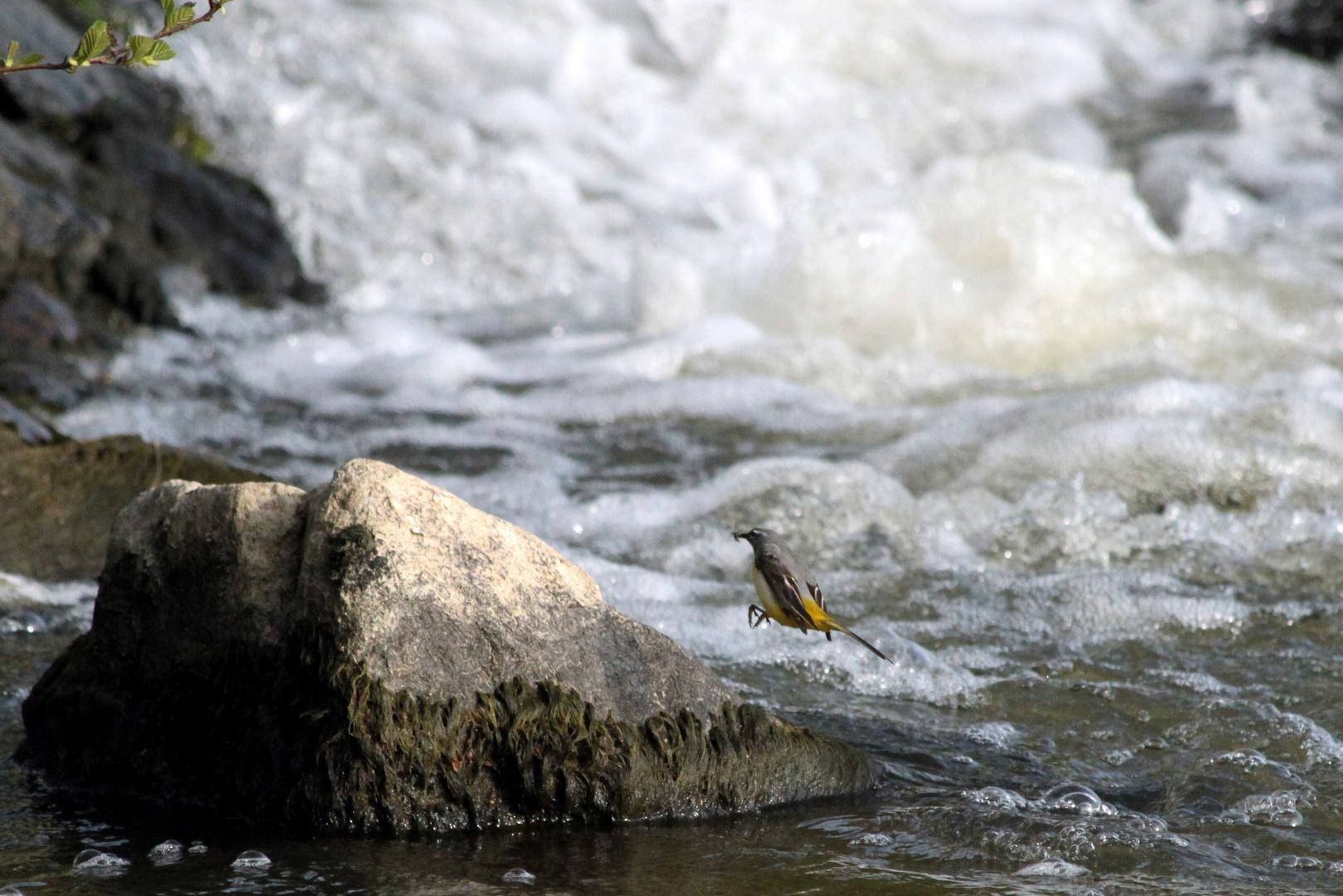 Bergeronnette des ruisseaux avec son (petit) repas