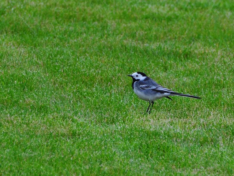 Bergeronnette en visite dans la pelouse voisine